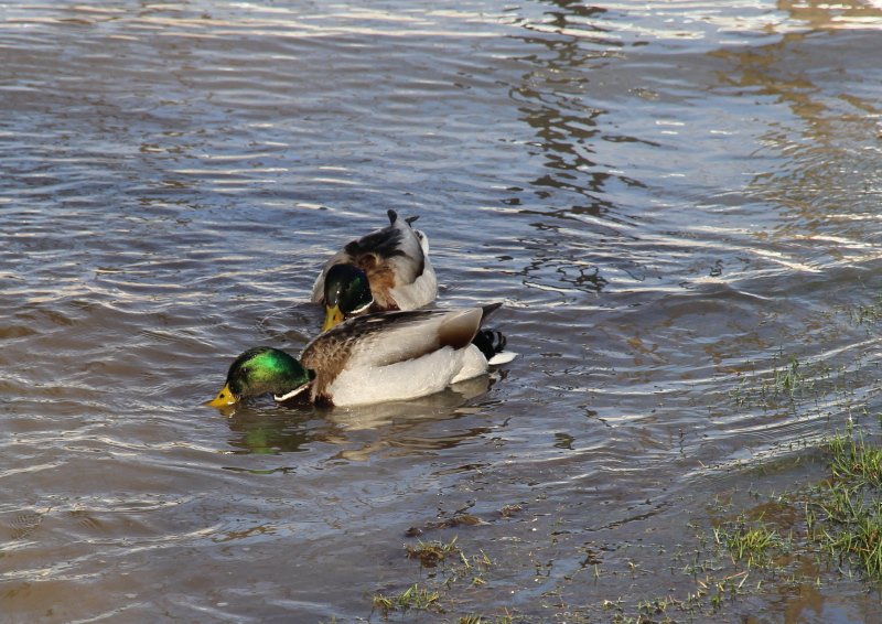 Mallards in the floodwaters