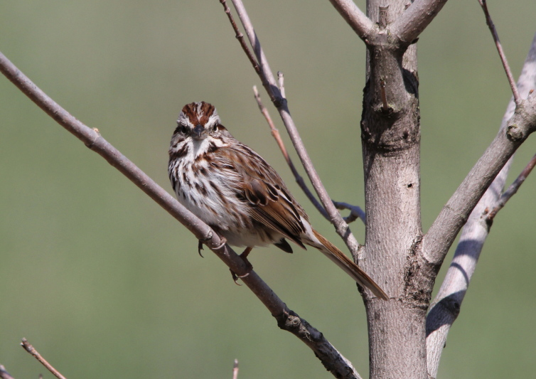 Male song sparrow thinking about singing