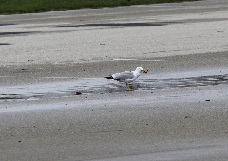 Ring billed gull eating nightcrawlers