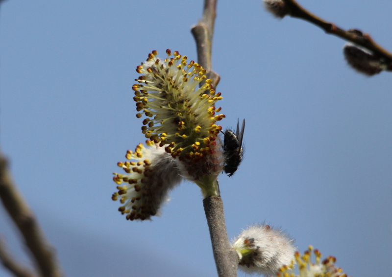 Willow flower and fly