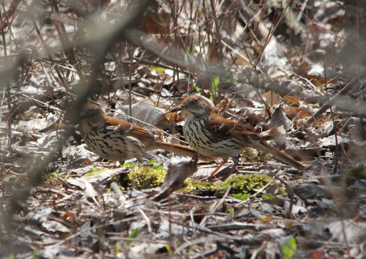 Brown Thrashers