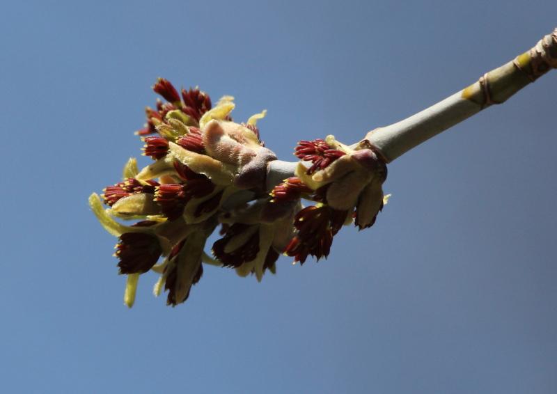 Elm flower?