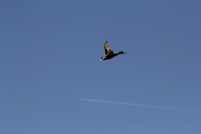 Male mallard flying over a jet