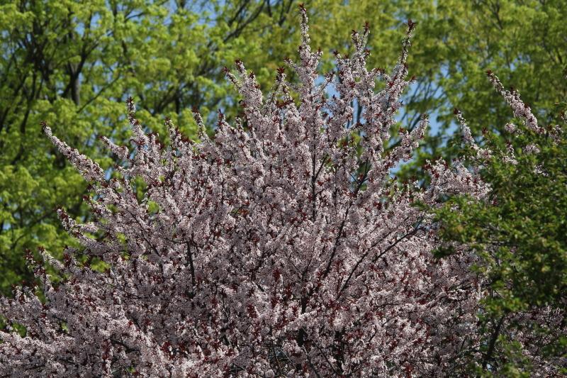 Redbud tree?