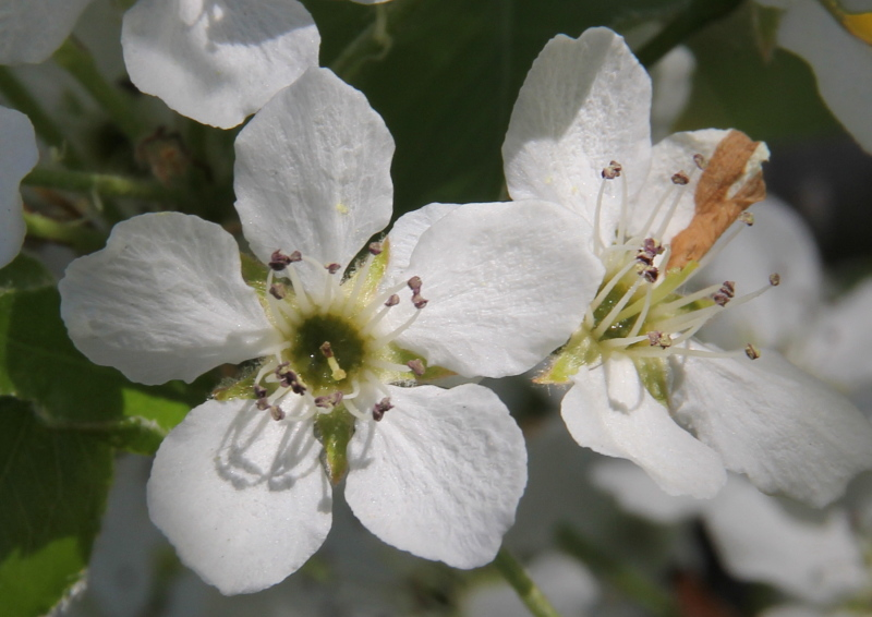 Flowering cherry?