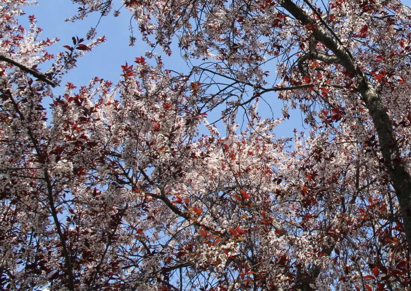 Flowering plum?