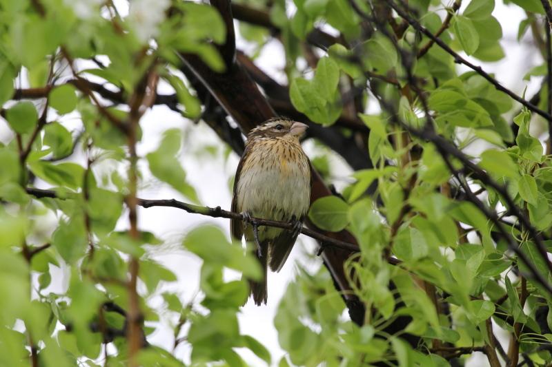 Female rose breasted grosbeak