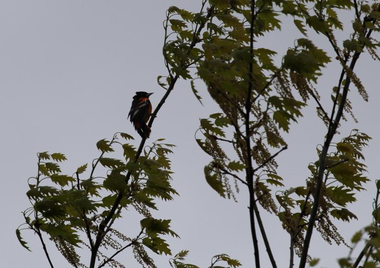 Male Baltimore oriole in the wind and rain