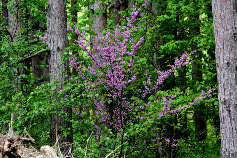 Redbud tree in the shade