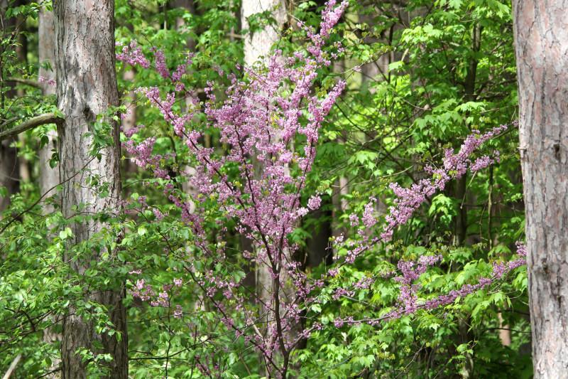 Redbud tree in the sun