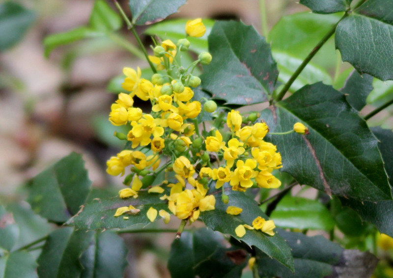 Yellow holly???