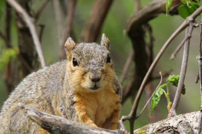 Fox squirrel after a territorial battle
