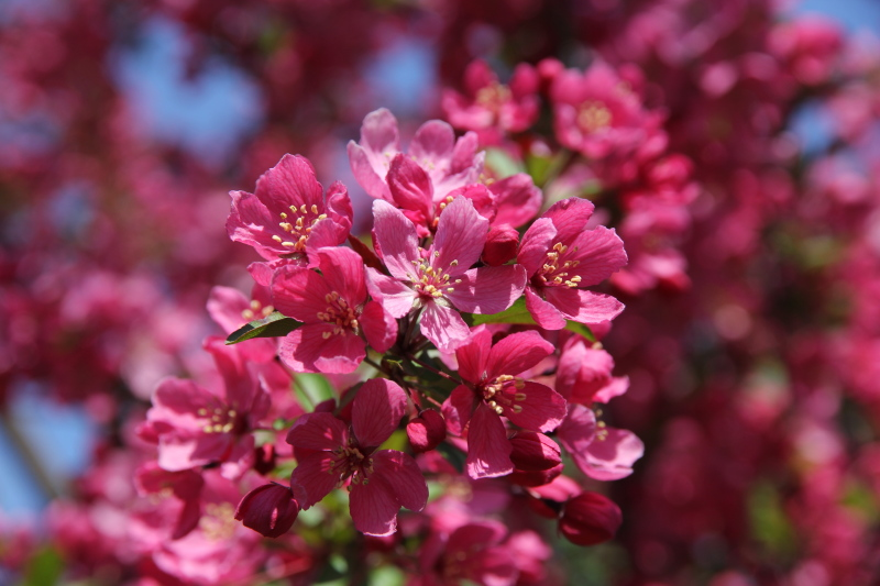 Red flowering crab apples