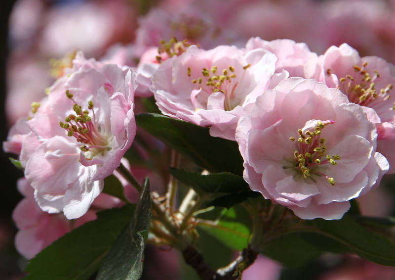Pink double crab apple