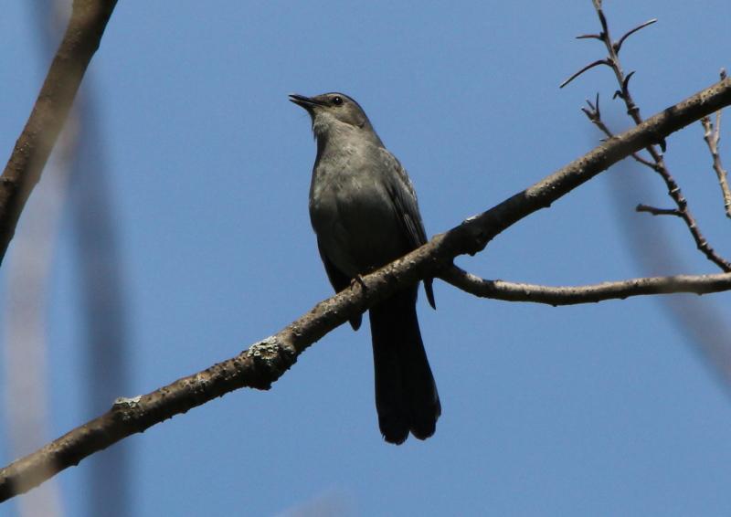 Grey catbird singing