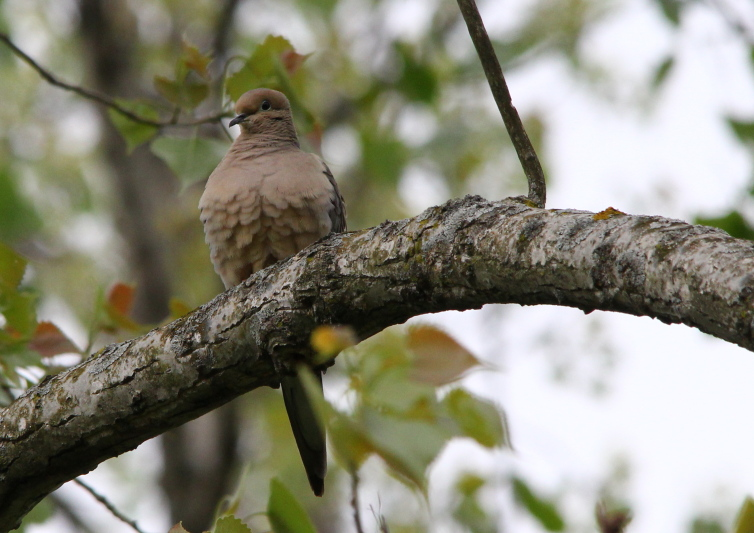 Mourning dove cooing