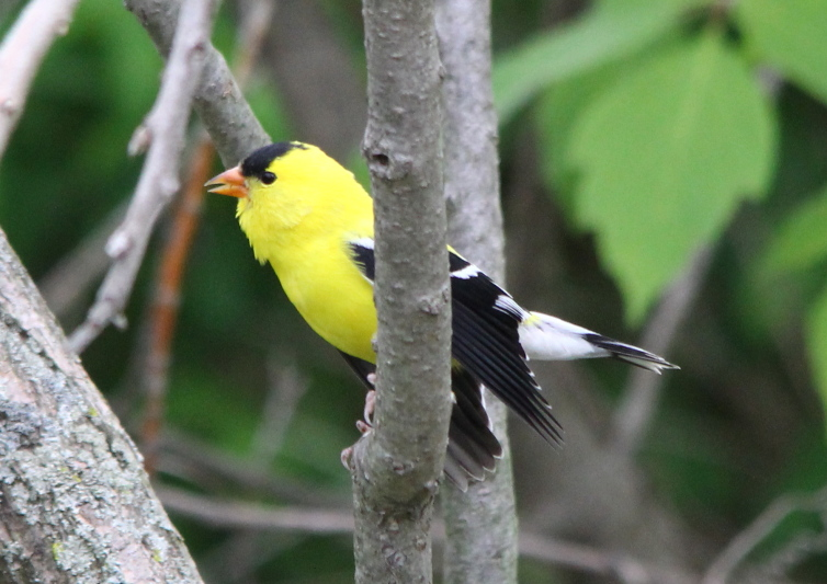 Male American goldfinch singing