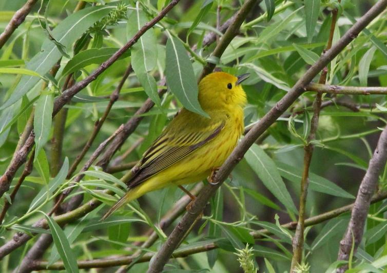 Male yellow warbler singing