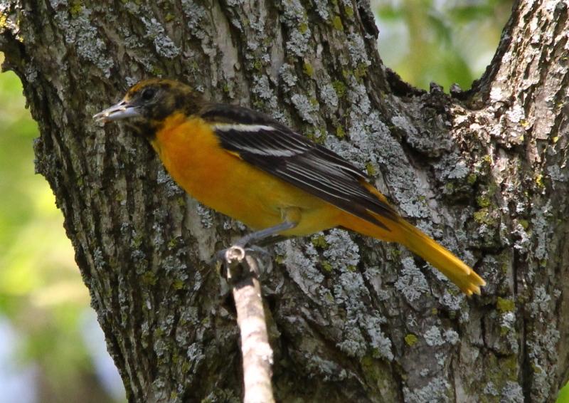 Female Baltimore oriole