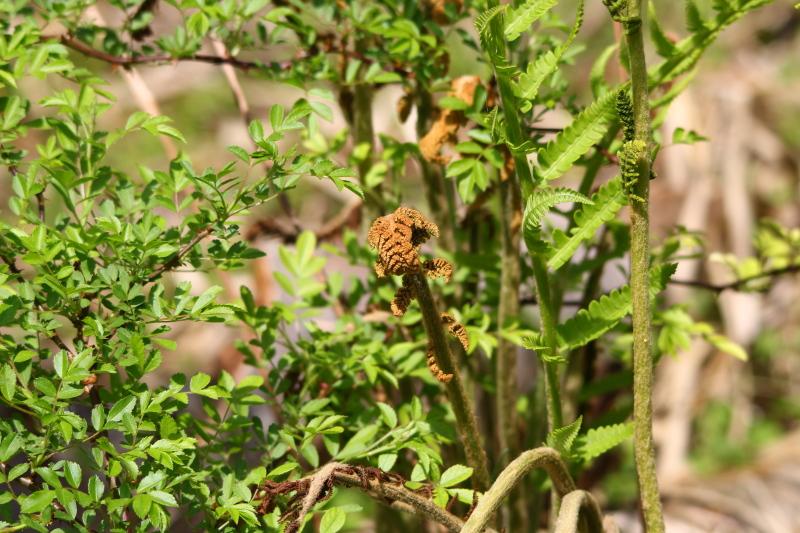 Ferns unfurling