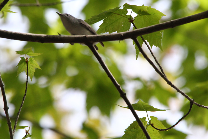 Blue-grey gnatcatcher on the run