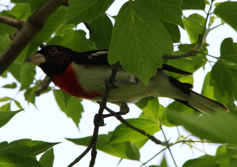 male rose breasted grosbeak