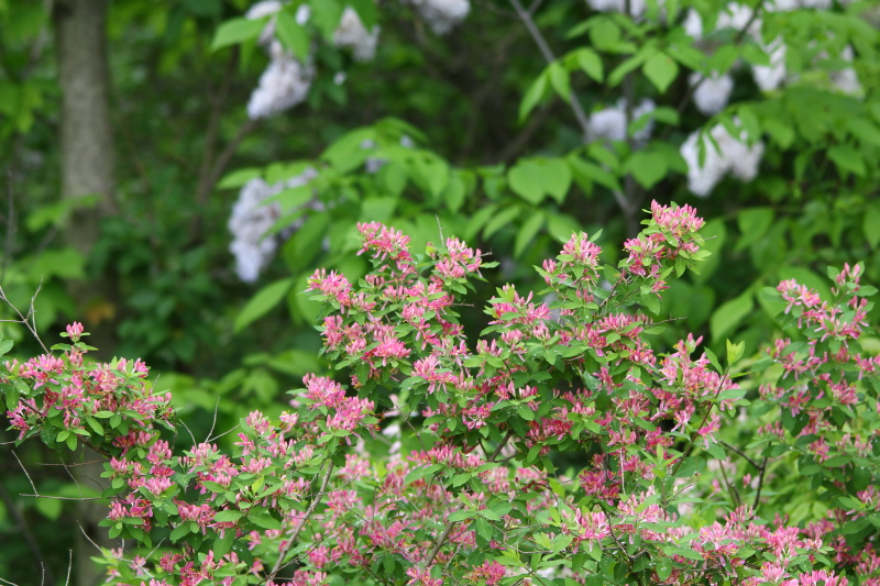 Honeysuckle and lilacs