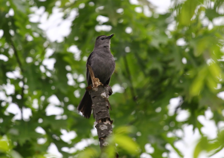 Grey catbird singing in the rain