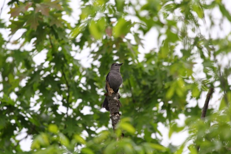 Grey catbird singing in the rain