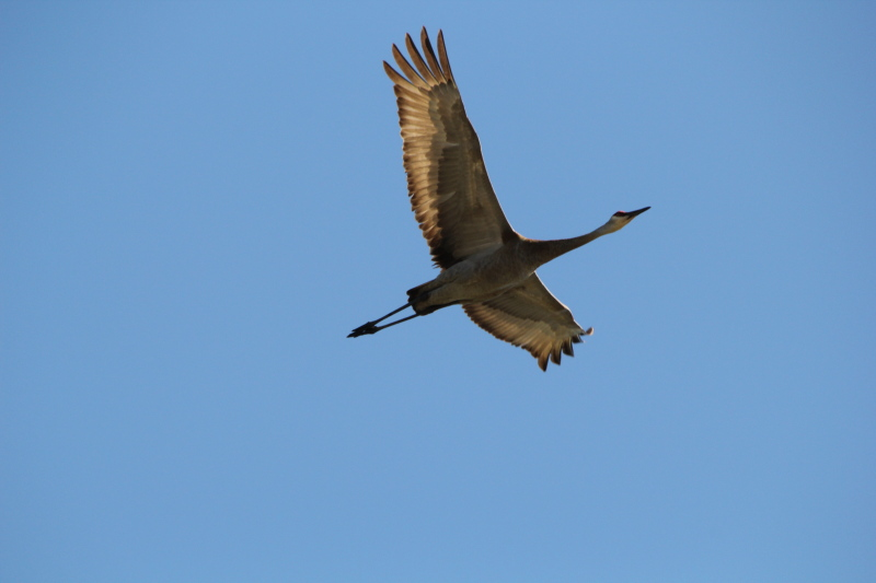 Sandhill crane doing a flyby for me