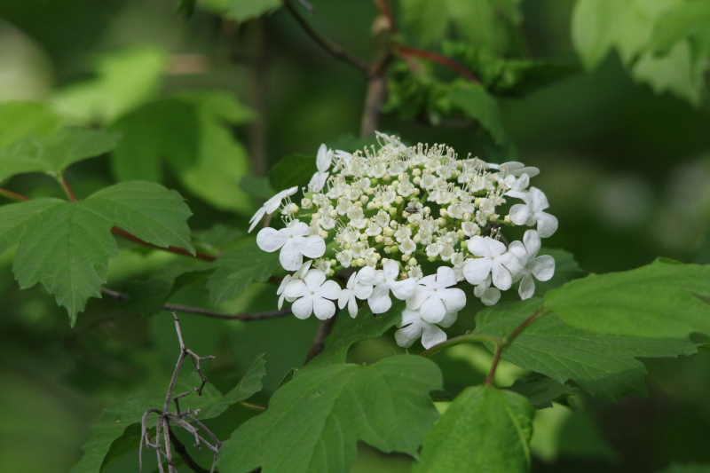 Hobblebush