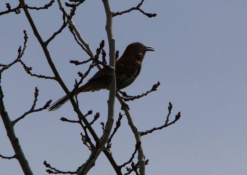 Male brown thrasher