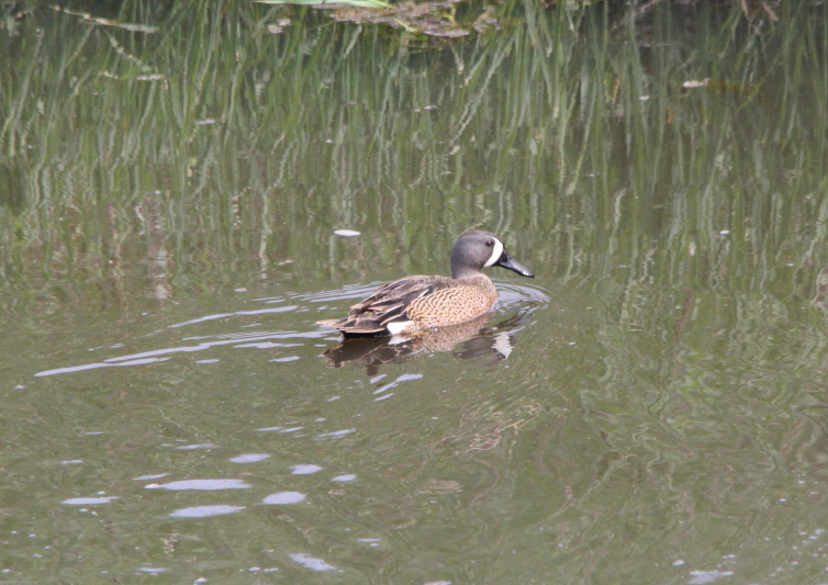 Male Blue winged teal