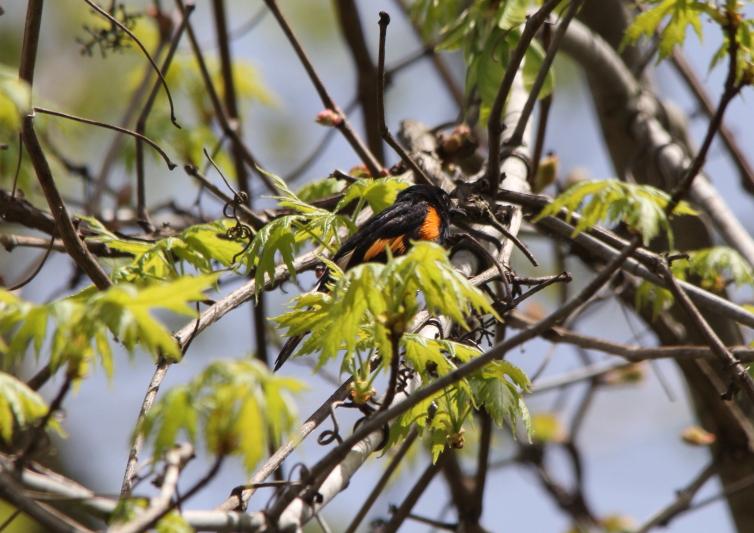 Male American Redstart