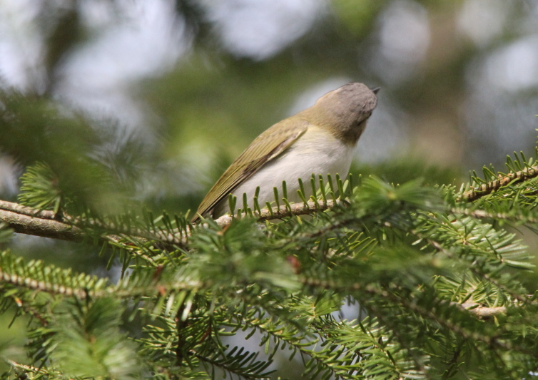 Red-eyed vireo hiding its eyes