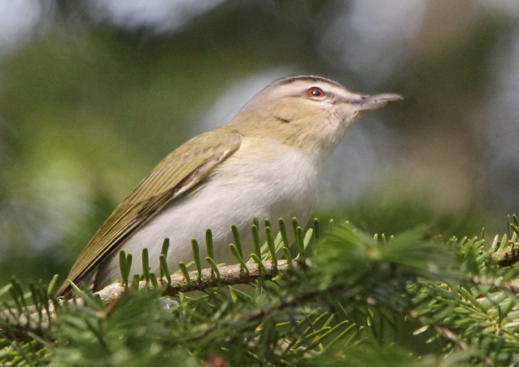 Red-eyed vireo not hiding its eyes