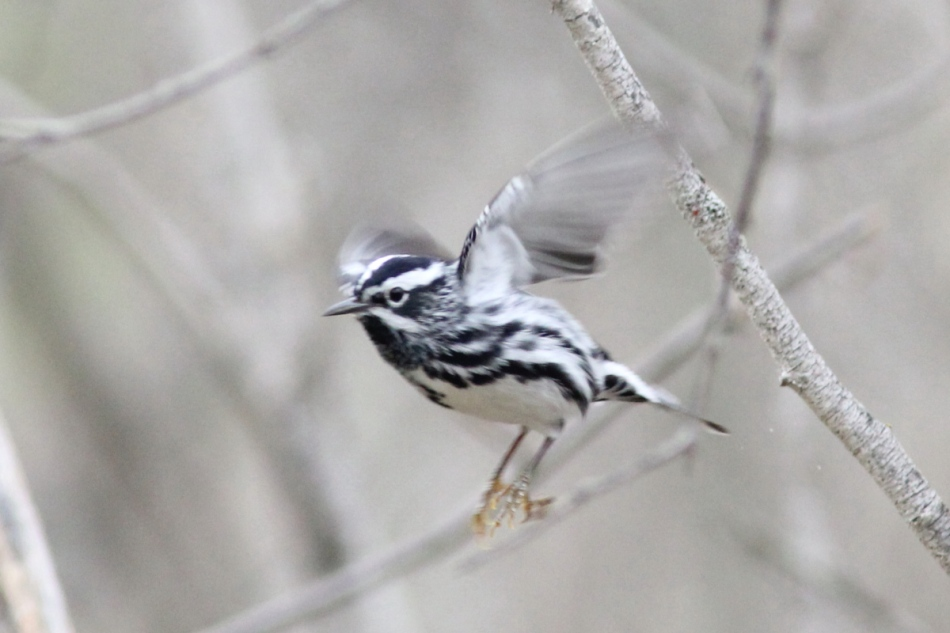 Black and white warbler in flight