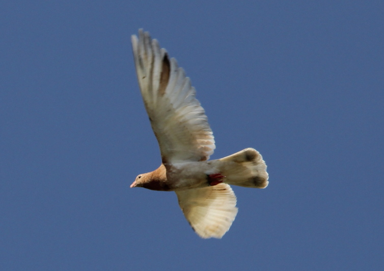 Rock dove (pigeon) in flight