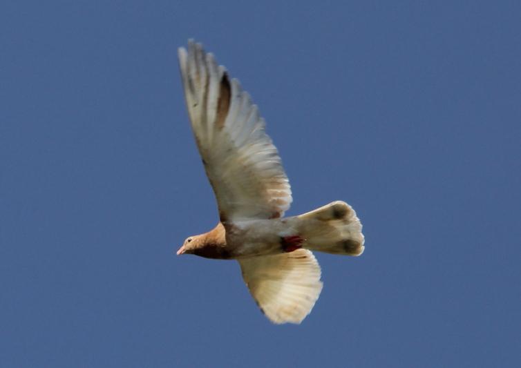 Rock dove (pigeon) in flight