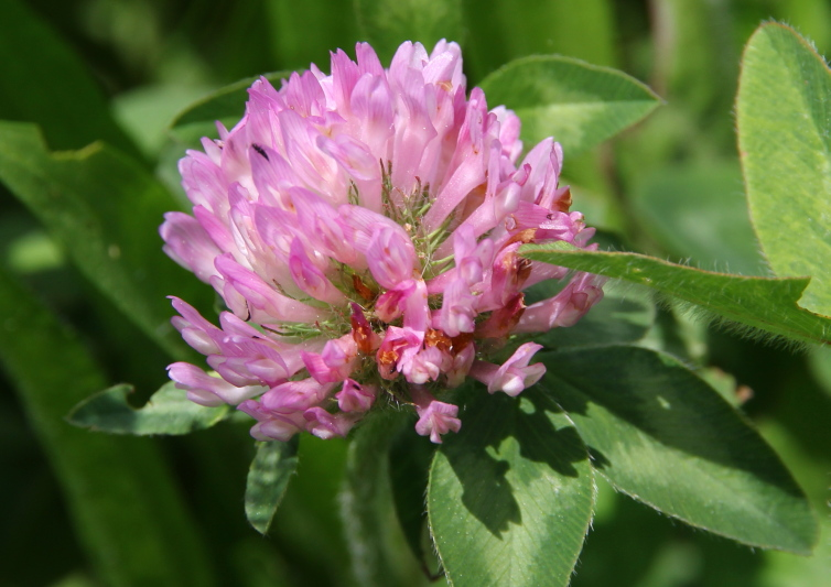 Red Clover??