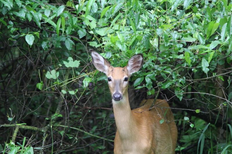 Whitetail yearling buck