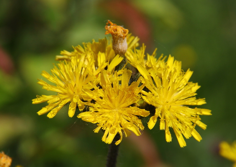 Yellow hawkweed