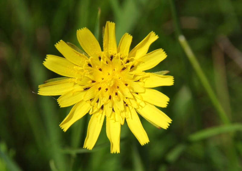 Very similar to yellow hawkweed, but I don't think it is