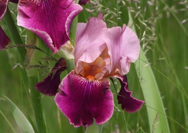 Cultivated iris