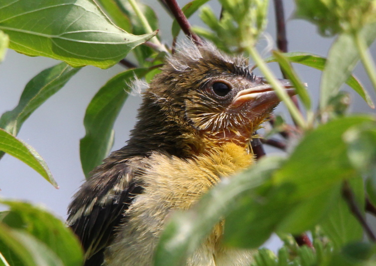 Unidentified fledgling object