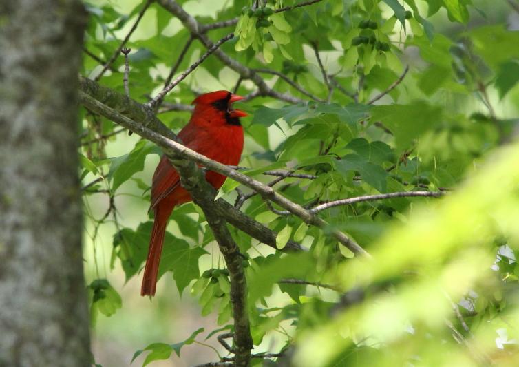 Male northern cardinal yawning