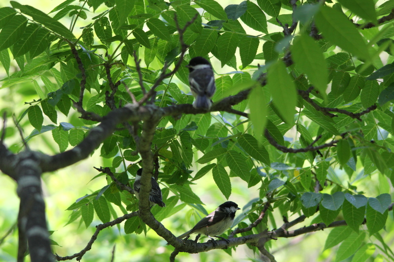 Black capped chickadees