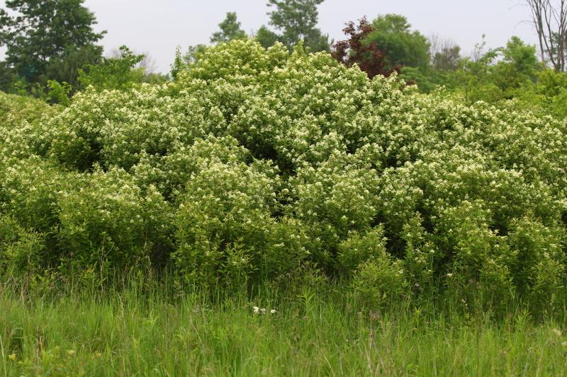 Still another flowering bush