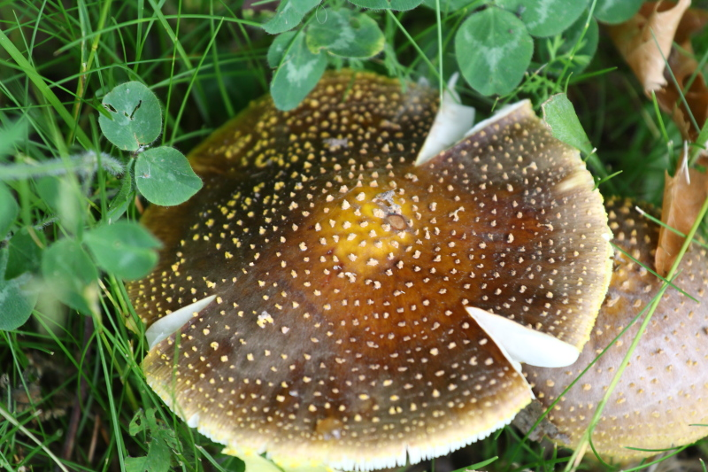 Mushroom, toadstool? Does any one use the term toadstool any more?