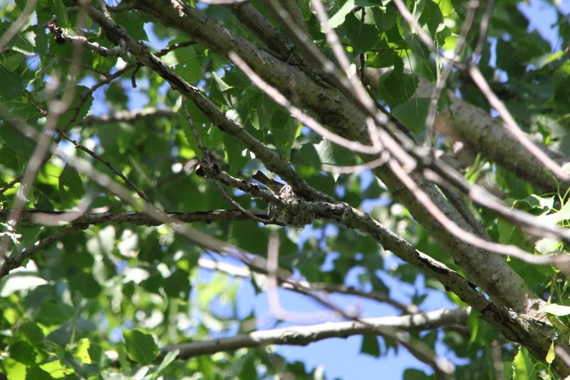 Treetop bird's nest